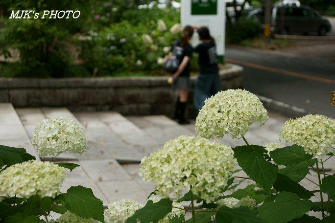 ajisai00590.jpg