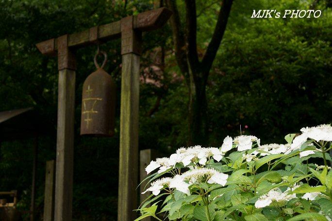 ajisai00591.jpg