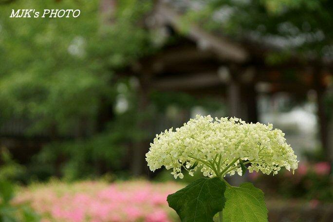 ajisai00592.jpg