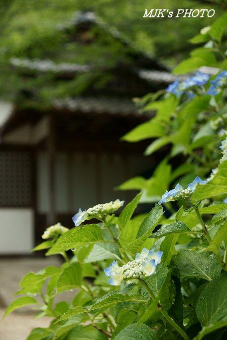 ajisai00593.jpg
