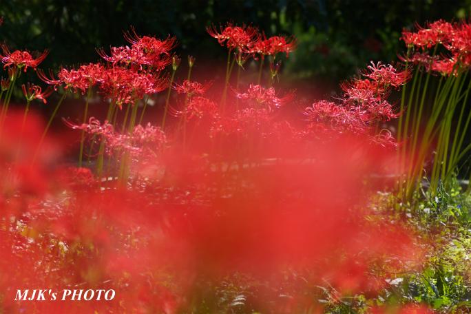 higanbana3464.jpg