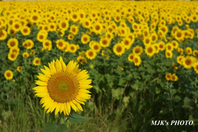 himawari3363.jpg