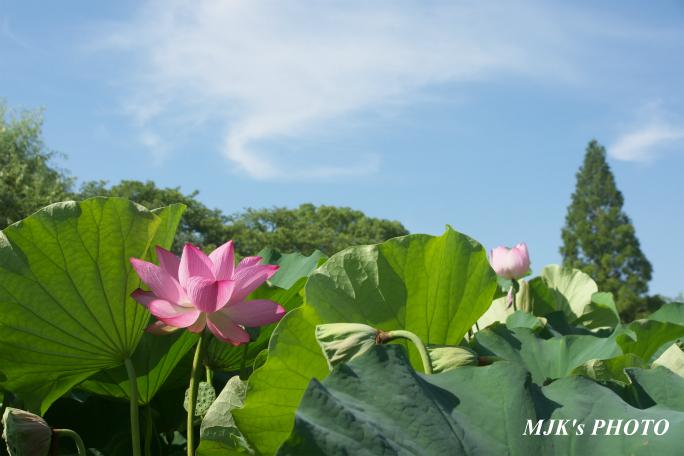mitsumata4312.jpg