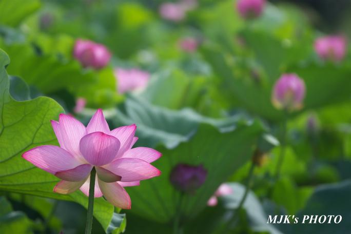 mitsumata4318.jpg