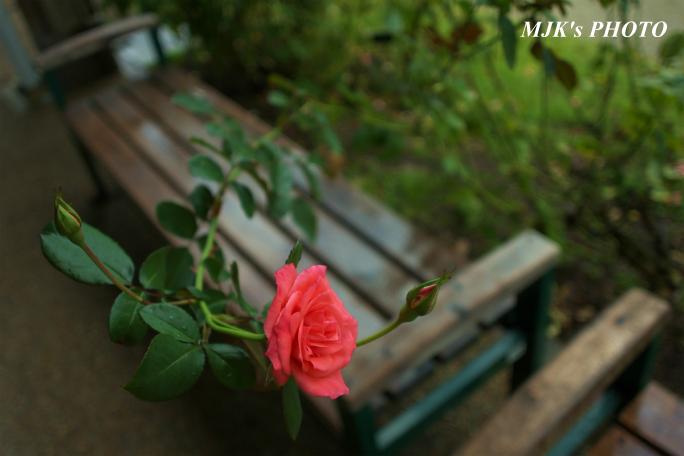 rose1767.jpg