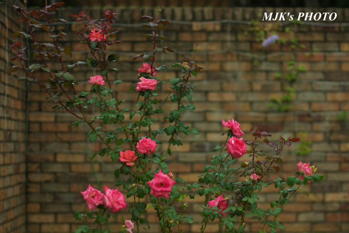 rose1768.jpg