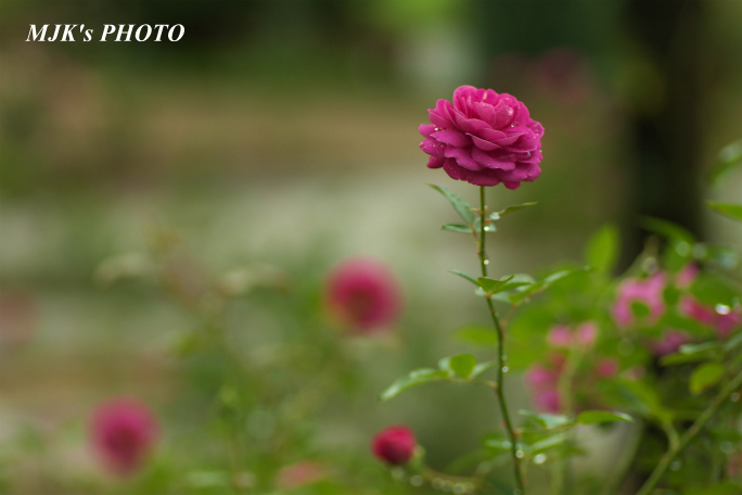 rose1769.jpg