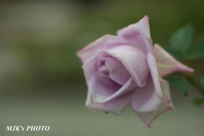 rose1771.jpg