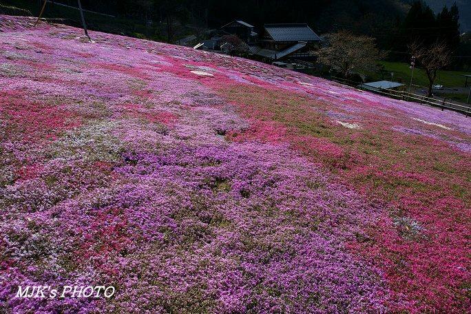 shibazakura00441.jpg