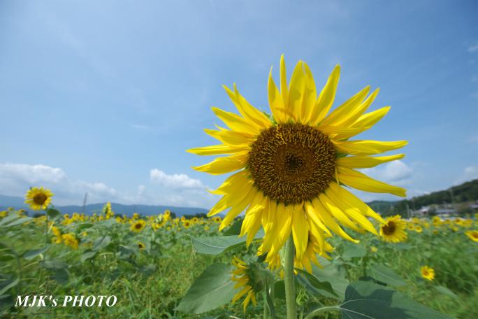 himawari00727.jpg