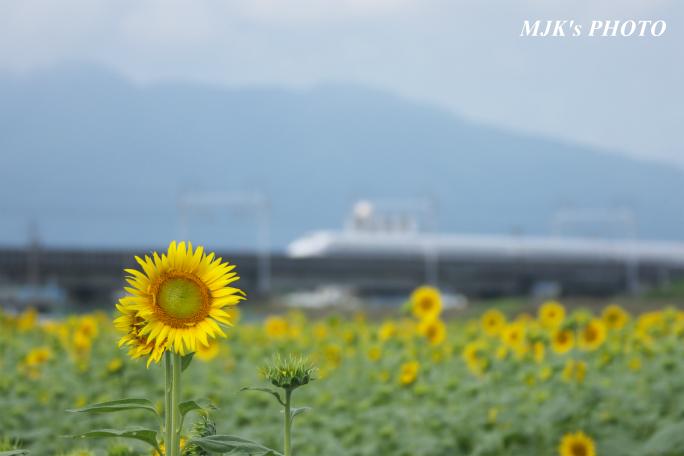 himawari2494.jpg