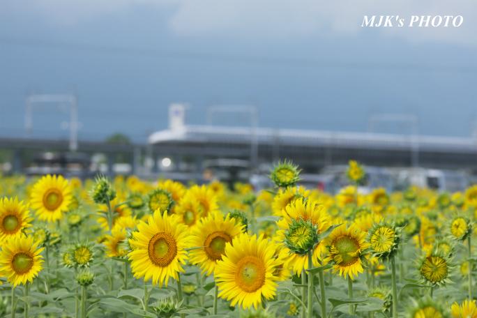 himawari2495.jpg