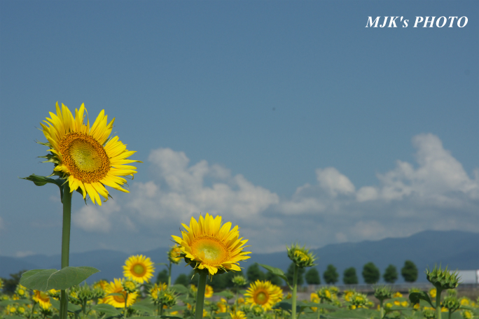 himawari2496.jpg