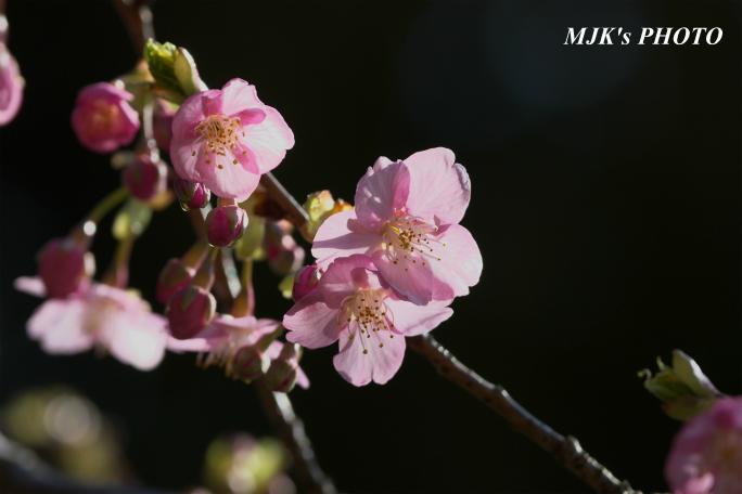 kawazuzakura2087.jpg