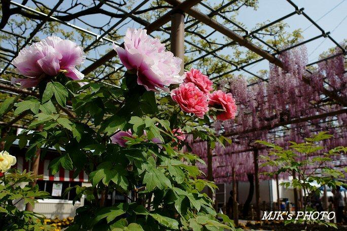mandaraji00459.jpg