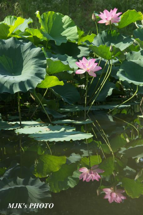 mitsumata4309.jpg