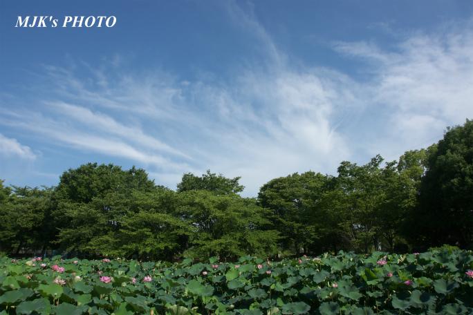 mitsumata4310.jpg