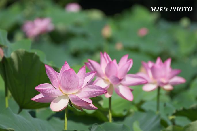 mitsumata4317.jpg
