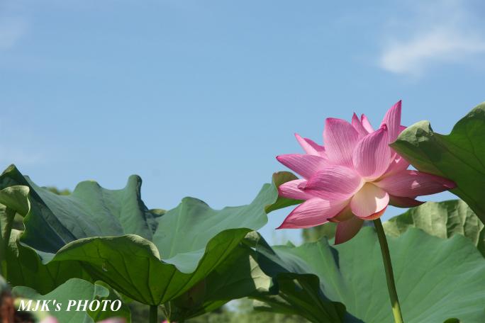 mitsumata4323.jpg
