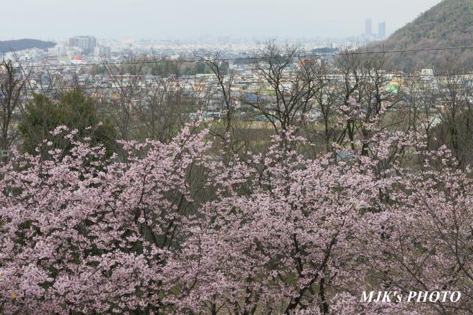 ozakisakura2133.jpg