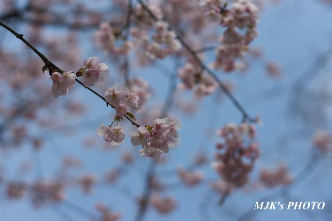 ozakisakura2136.jpg