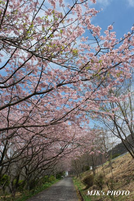 ozakisakura2137.jpg