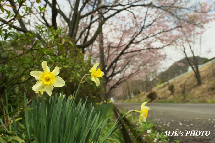 ozakisakura2138.jpg