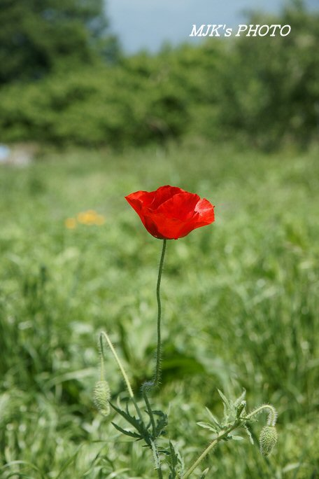 poppy00547.jpg