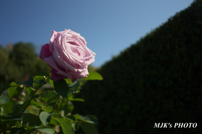 rose2701.jpg