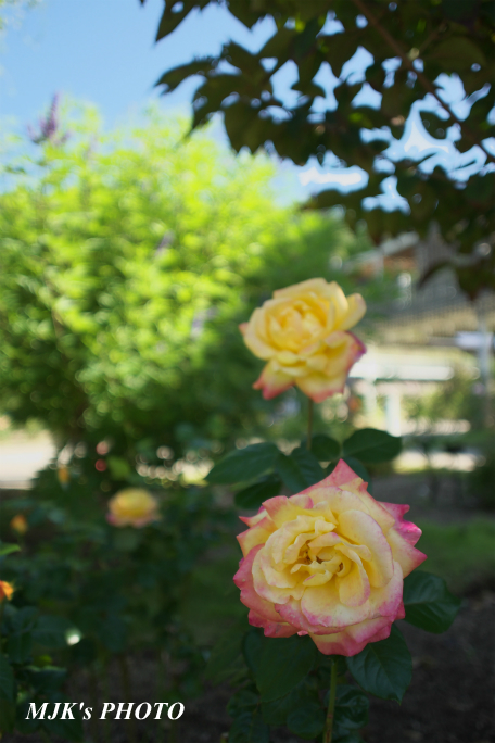 rose2703.jpg