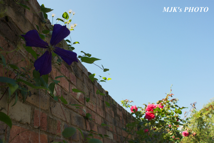 rose2704.jpg