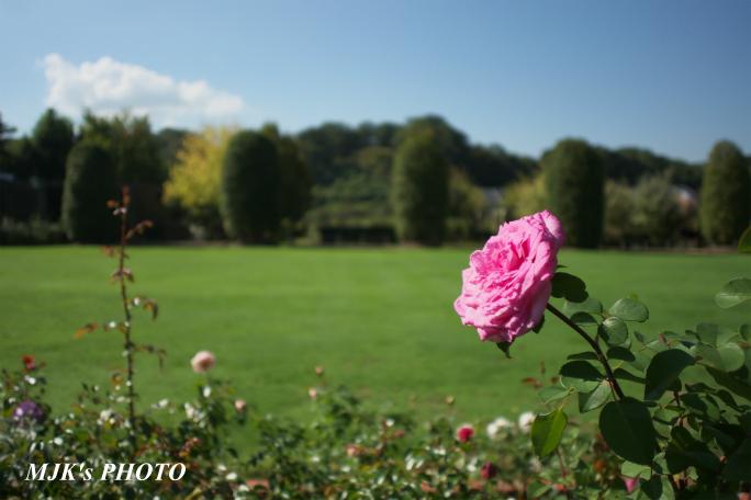 rose2705.jpg