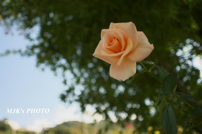 rose2706.jpg