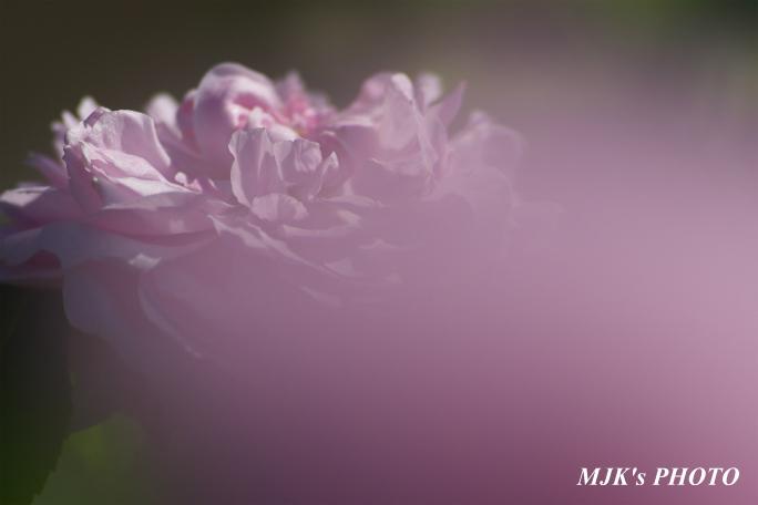 rose2709.jpg