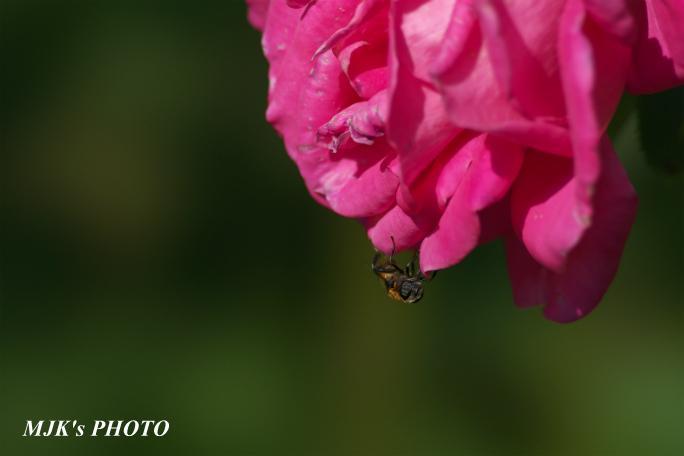 rose2710.jpg