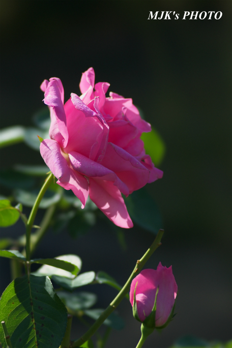 rose2712.jpg