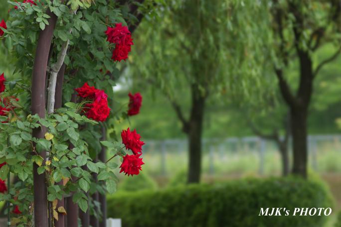 rose3196.jpg