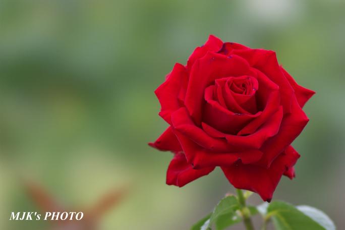 rose3197.jpg