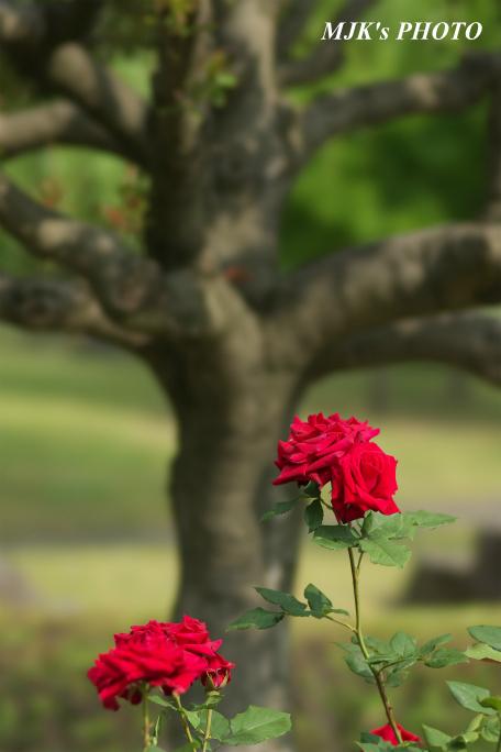rose3199.jpg