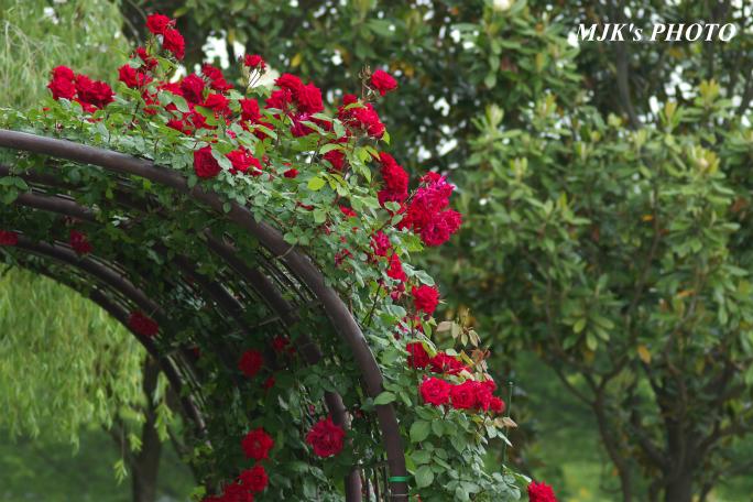rose3200.jpg