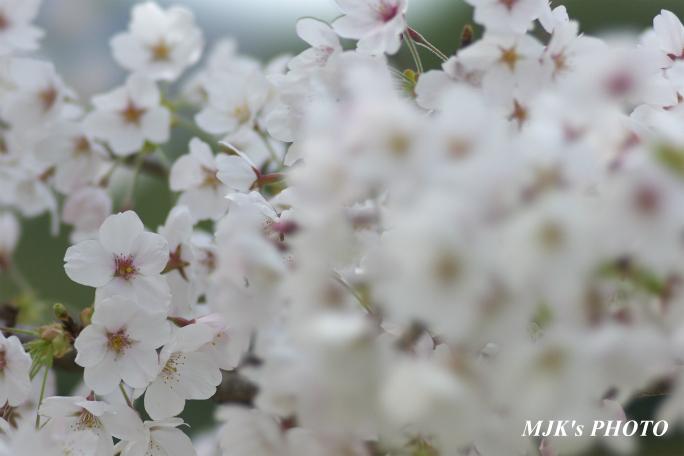 sakura4046.jpg