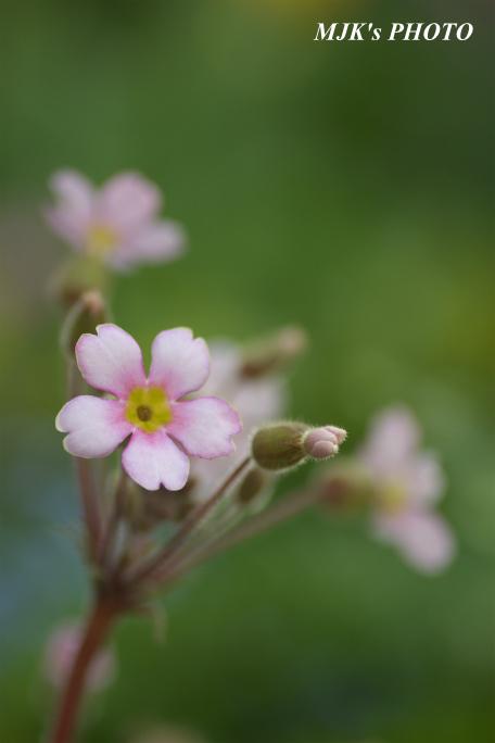 springflower3851.jpg