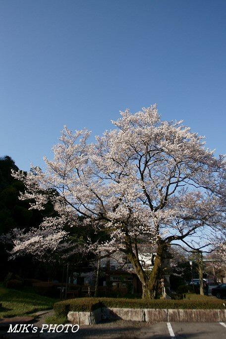ukaizakura00368.jpg