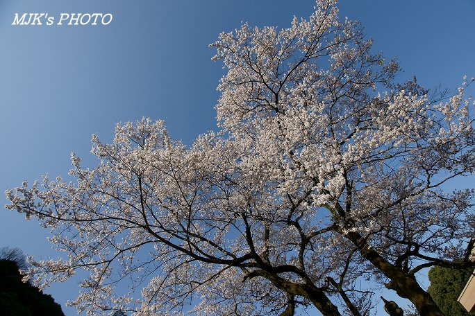 ukaizakura00369.jpg