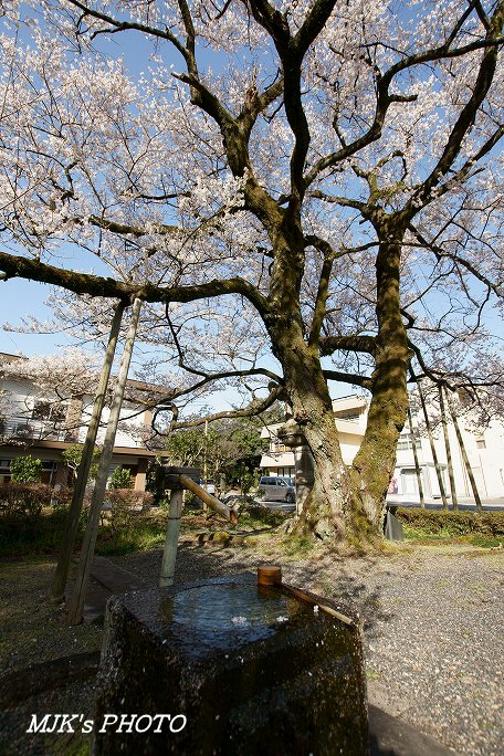 ukaizakura00371.jpg