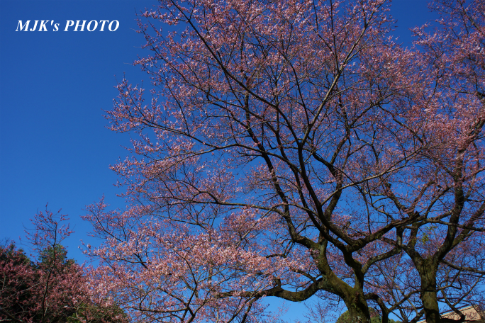 ukaizakura1263.jpg