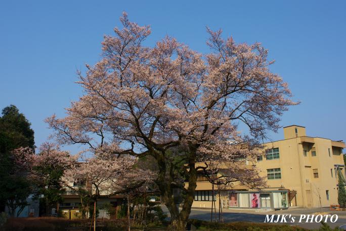 ukaizakura1267.jpg