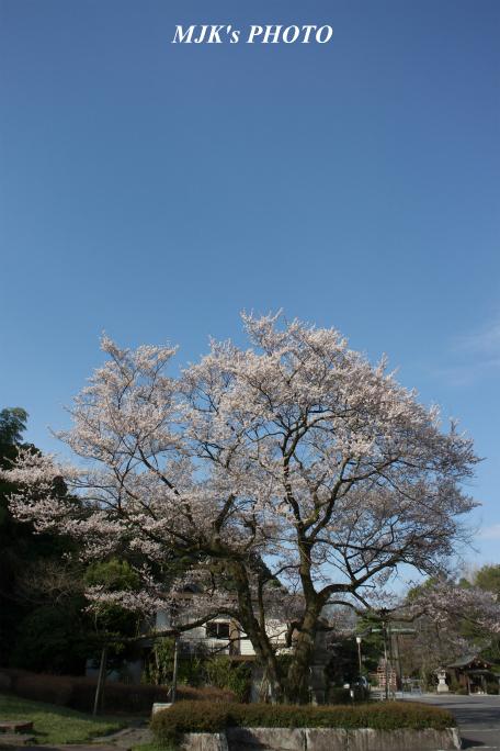 ukaizakura3001.jpg