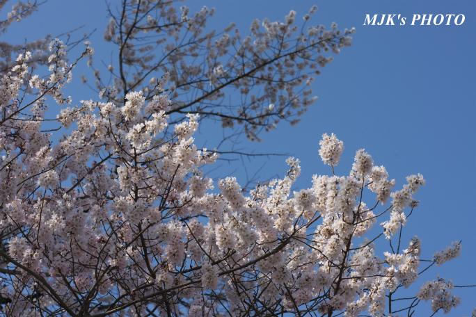 ukaizakura3010.jpg